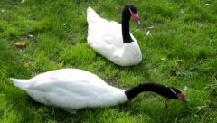 A black-necked swan couple, grazing female and dreaming male, Stock Footage
