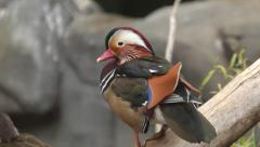 Eye contact with a perching mandarin duck male, Aix galericulata, back view. Stock Footage