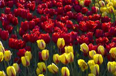 Spring background with tulips Stock Photos