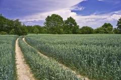 Path corn field Kuvituskuvat