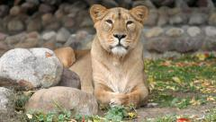 Eye contact with lioness in soft light, lying on boulder background and yawning. Stock Footage