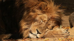 Sunlit head and paw of lion, sleeping on shadow background. King of beasts Stock Footage