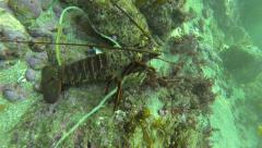 California Spiny Lobster Crawling On Ocean Floor Stock Footage