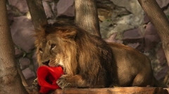 Lion, lying among tree and playing with a torn red plastic cone. Stock Footage