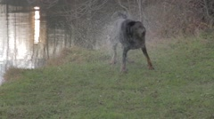 Dog getting out of water Stock Footage