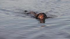 A dog is returning a stick and swimming Stock Footage