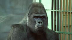 A moody gorilla male, severe silverback, sitting near grid. Stock Footage