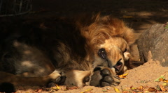 Anxious sleeping of a shaggy Asian lion, lying on shadow background. - stock footage