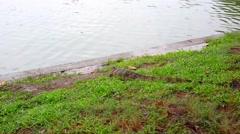 Water monitor in green park, Bangkok, Thailand. HD. 1920x1080 Stock Footage