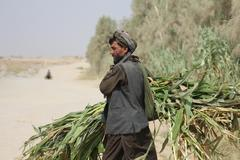Afghan man carrying corn stalks for cattle feed  Stock Photos