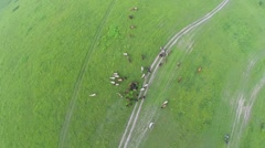 Grass field with horse herd graze at summer day. Aerial view Stock Footage