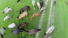 Many different horses graze on grass field at summer day Stock Footage