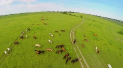 Horses pasture on grass field near village at summer day. Stock Footage