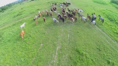 Horses gallop driven by herdsman at summer day. Aerial view Stock Footage