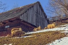 Wooden hut and grazing sheep Stock Photos