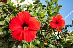 Hibiscus is a symbol of the Mediterranean - stock photo