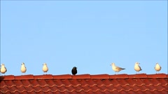 Gulls and a raven in the middle on red tiled roof Stock Footage