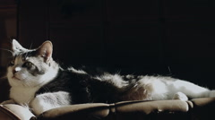 Lazy Cat Lying on a Couch Losing his Hairs When someone come to Flatter it Stock Footage