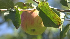 Delicious fresh ripe apple hang tree branch rural bio orchard sunny day harvest  Stock Footage