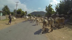 Asian shepherd with a herd of zebu cows on the rural road Stock Footage