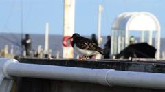 A Turnstone Bird Perches Atop a Ledge Stock Footage