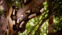 Snake in Tree.mp4 Stock Footage