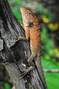 Orange Lizard - stock photo