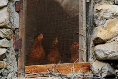 Hens looking outside chicken house Stock Photos