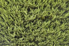 Close-up of green conifer branches in summer Stock Photos