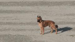 Happy Beach Dog Stock Footage