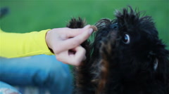 Small cute shaggy dog taking food from girl's hands. Close-up Stock Footage
