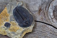 Single perfect fossilized trilobite in close up view Stock Photos