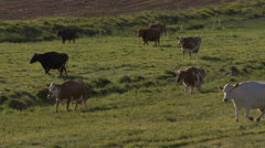 Iceland, North Coast, Eyafjordur, Cattle Graze MS Stock Footage