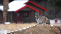 Colorado Bobcat in Estes Park Stock Footage