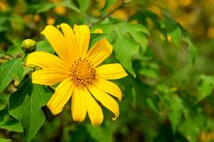 Mexican sunflower weed and blue sky background. - stock photo