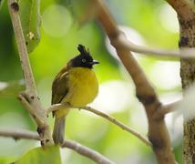 Black-crested Bulbul perching on branch - stock photo