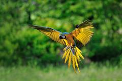 Front view on landing blue-and-yellow Macaw - Ara ararauna with green background Stock Photos