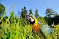 Closeup blue-and-yellow Macaw - Ara ararauna sitting in the grass Stock Photos