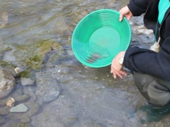 Gold Nugget mining from the River Stock Footage