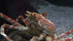 King Crab, Panning to Profile, Shot at the Entrance to a Small Cave. Stock Footage