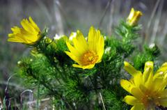 Wild yellow adonis growing in nature, floral natural background Stock Photos