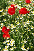 chamomile and poppy wild flowers spring season - stock photo