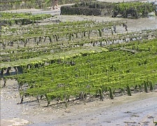 Oyster beds at low tide, covered with a veil of green algae, seaweed Stock Footage