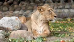 Lioness in soft light, calm lying on boulder background and looking around. Stock Footage
