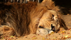 A shaggy Asian lion close up, sleeping in shadow background. Stock Footage