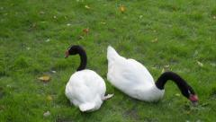A couple of black-necked swans, grazing on the green grass background Stock Footage
