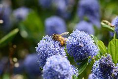 Honeybee with full corbiculae Stock Photos