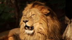 A sunny golden lion close up, lying on dark background Stock Footage