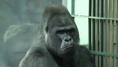 Wishful gorilla male, severe silverback, sitting near grid. Stock Footage