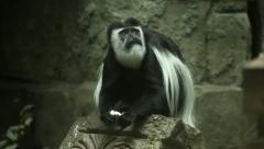 A colobus monkey, Colobus guereza, sitting on stone background Stock Footage